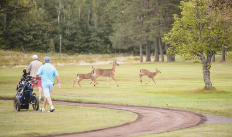 Deer on the greens at Moncton Golf and Country Club