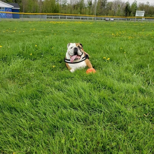 I'm fairly certain Gus's favorite place in the whole wide world (other then the couch) is the baseball field.  Hes loves this place!!#englishbulldog #BigBoy ........ .......#vidicbullies #nofilter #nofilterneeded #bestdogever #pets #petsofinstag